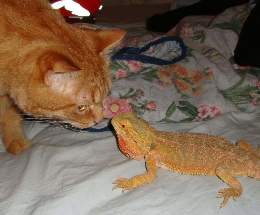 from beardeddragon.org